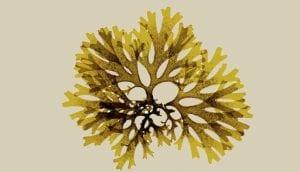 Brown Algae or Phaeophyceae