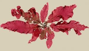 Red Algae or Rhodophyta